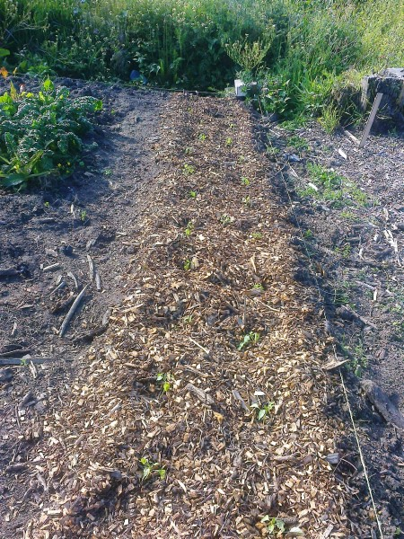 mulched vege garden with path alongside for walking